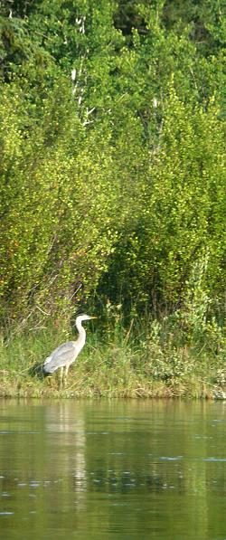 A Heron on the Banks of the Columbia River