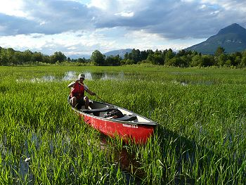 a caone in the wetlands near Golden BC